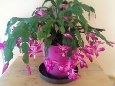 4 Nice Cuttings Vibrant Pink Fuchsia Color Christmas Cactus (No Root)