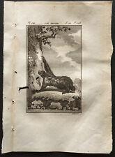 1799 - Buffon - L'aï adulte (paresseux) - Gravure zoologie