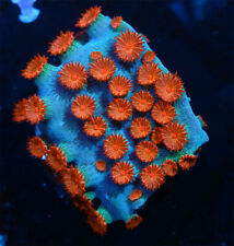 New listing Meteor Shower Cyphastrea Live Coral Wysiwyg