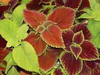 Coleus Rainbow Mix 300 Seeds FREE SHIP Save, Buy 2 & We Pack 3! Zellajake  19