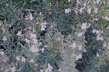 20 semillas Ajedrea, Satureja montana #453