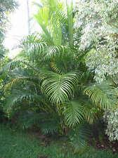 Dypsis lutescens / Palmier Areca - lot de 20 graines
