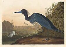 Audubon Reproductions: Birds of America: Blue Crane or Heron - Fine Art Print