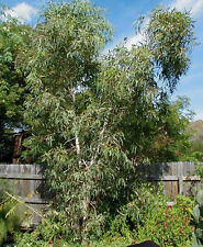 Smooth Barked Coolibah Gum Seeds (E victrix) Drought Tolerant Evergreen Tree
