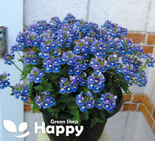 NEMESIA BLUE GEM - 2000 seeds - Nemesia strumosa - SMALL BLUE FLOWERED - FLOWER