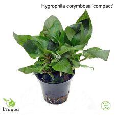 Hygrophila corymbosa 'compact' Live Aquarium Plants Tropical Aquascaping Tank EU