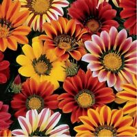 Gazania- Mixed colors- 50 Seeds- BOGO 50% off SALE