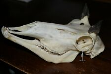 Real Bone Skull of a Female Pronghorn Antelope Animal Mammal Taxidermy Collect