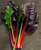 Bunter Mangold,Krautstiel,Mangold, Bunter Mix Saatgut 50+ Samen aus Eigenanbau