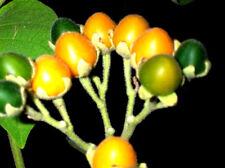 """BAUM TOMATE ZWERG-Tamarillo """"Solanum abutiloides""""  süß, orange, """"Samtpfirsich"""""""