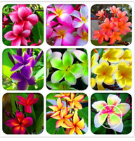 100 PCS Seeds Japanese Style Plumeria Plants Bonsai Flowers Free Shipping 2019 N