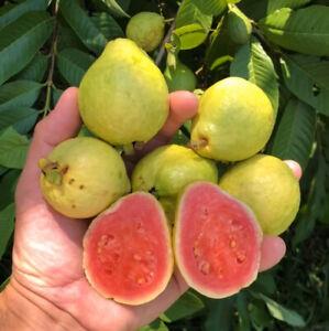 PINK GUAYAVA GUAVA  Psidium  Magnoliopsida LIVE TREE PLANT FRUIT 3'' TO 4''