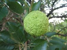 Osage Orange Tree - Maclura pomifera - 5+ seeds - Frosthardy - INTERESTING!