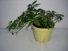 Kräuter-Pflanzen mit Jiaogulan-Musik