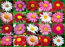 500+ Painted Daisy Seeds Perennial Flower Pink Red White Mid-Summer Mix 1.6gram