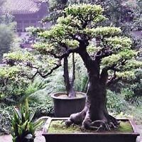 BONSAI SOPHORA SEEDS FLOWERING TREE EASY TO GROW 20 SEED PACK