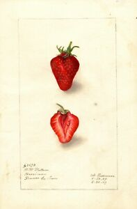 Fruit Postcard: Vintage Repro Print -  Perfect Sweet Strawberry, Inside and Out