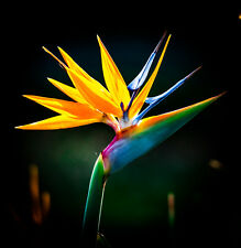 Fresh Cut Flowers Bird Of Paradise imported from CostaRica