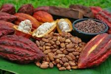 Chocolate Cocoa seeds 100% natural 20 seeds