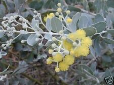 Queensland Silver Wattle Seeds Good Cut Foliage Plant Drought & Frost Tolerant