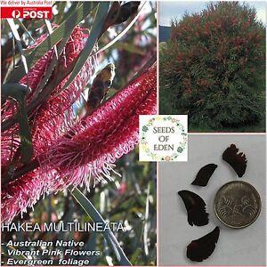 15 HAKEA MULTILINEATA SEEDS; Beautiful Australian Native