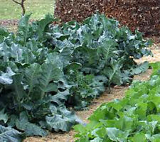 COLLARD GREENS, VATES,  HEIRLOOM, ORGANIC 50+ SEEDS, GREAT FOR SALADS, COOKING