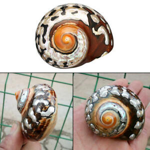 Natural African Turban Shell Conch Coral Sea Snail Fish Tank Home Decoration DIY