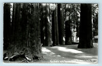 RICHARDSON GROVE STATE PARK CALIFORNIA REDWOODS BIG TREES PATTERSON RPPC #933