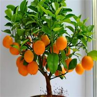 USA-Seller Orange Tree seeds Indoor Plant in Pot garden plant 20pcs (zo)