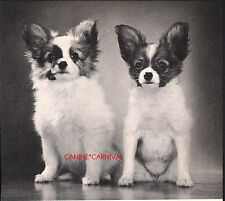 PAPILLON PUPPIES BUTTERFLY DOGS ADORABLE 1969 Vintage Dog  PHOTO Art Print