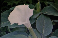 5 Samen Sadadhatura,Datura metel,giftig#607