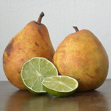 Candle Making Fragrance Oil PEAR & LIME - 100ml bottle