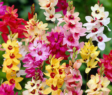IXIA MIXED 15 BULBS STUNNING SUMMER FLOWERS READY TO DISPATCH FREE P&P
