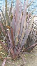 30 semillas de Formio, Lino o Cáñamo de Nueva Zelanda (Phormium tenax) seeds