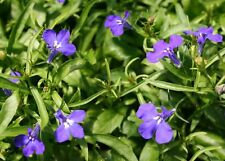 50 Multi Pelleted Seeds Lobelia Seeds Riviera Marine Blue Flower Seeds