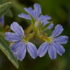 SCAEVOLA thesioides Fan Flower Seeds (N 245)