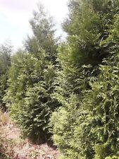Thuja brabant, (keine smaragd), 500cm, lebensbaum, hecke, PFLANZBERATUNG VOR ORT