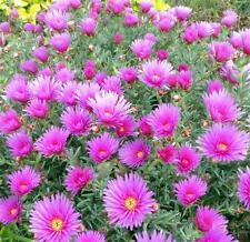 Pigface / Pig Face Pink Flower x2 Unrooted Plants/ Stem Cuttings - Free Postage