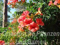 🔥 Trompetenwein traumhafte Trompeten-Blüten winterhart 10 frische Samen Balkon