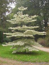 Wedding Cake Tree - Cornus Contraversa Variegata. Height: 60-80cm. Free delivery