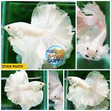 Live Betta Fish High Quality Halfmoon HM Platinum White Dumbo - USA SELLERS