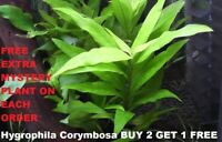 Hygrophila Corymbosa Bunch Buy2Get1 free Easy Live Aquarium Plants Beginner tank