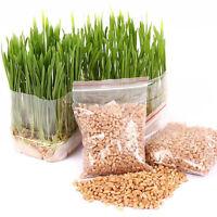 400X Graines d'herbe de blé d'herbe de blé pour la germination de la santé des