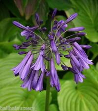 3 New Agapanthus Evening Eclipse violet purple flowers excellent garden plant