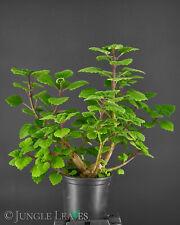 Plectranthus ernstii (Harfenstrauch) Duftpflanze Caudex Südafrika