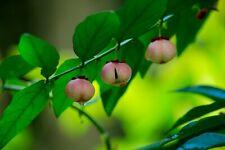 10 Seeds Katuk Plant- Sauropus androgynus - tropical plant -seed Sale