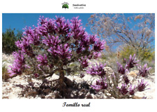 Thymus Longiflorus - Long Flower Thyme - 1000 Seeds