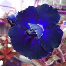 Adenium Obesum Blackish Dark Blue Petals Flower Seeds Garden Big Bloom Bonsai