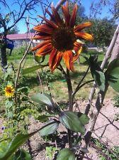 15 Graines Tournesol Evening Sun Bio et Reproductibles