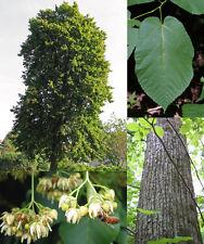 "New listing Basswood, ""tilia americana"". 100 seeds. trees, seeds"